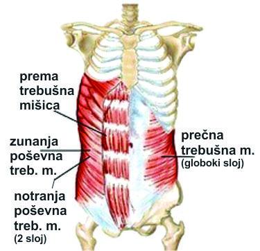 trebusne_mišice